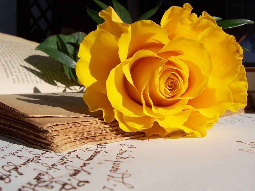 Hoa hồng vàng đẹp nhất thế giới 3