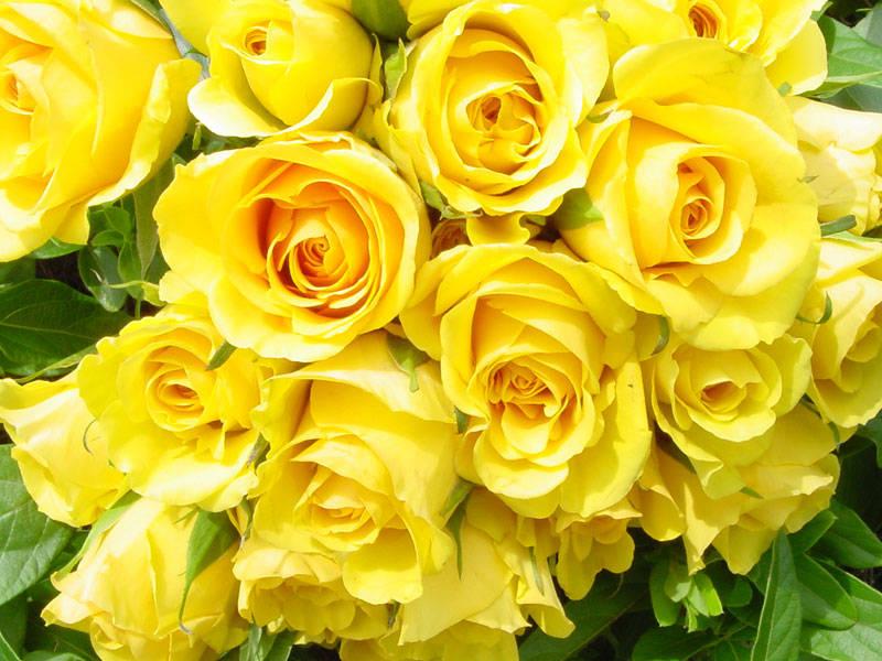 Hoa hồng vàng đẹp nhất thế giới 2