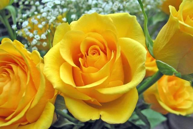 Hoa hồng vàng đẹp nhất thế giới 1