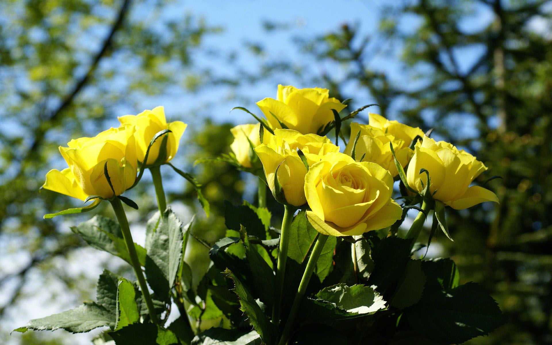 hình ảnh đẹp hoa hồng vàng 3